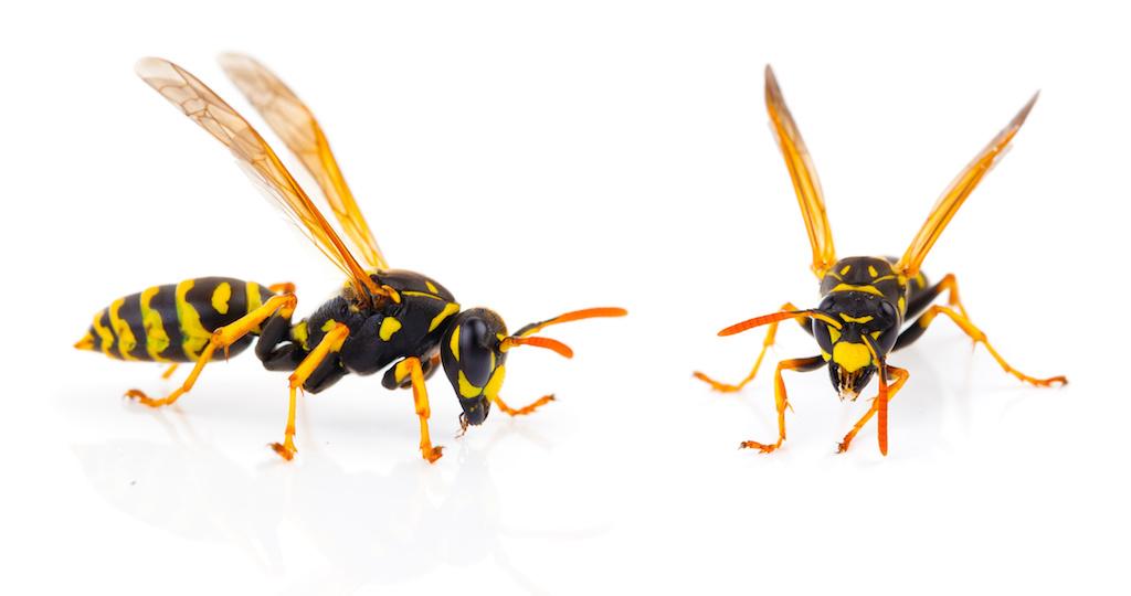 2匹のスズメバチ