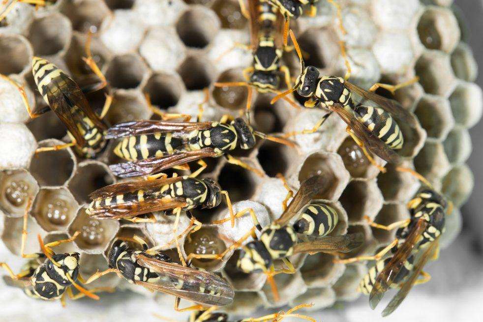 巣に群がるハチ